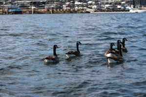Geese on Lake Union by eillahwolf