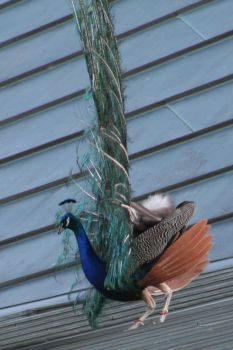 Peacock Edging Down Roof by kimayame