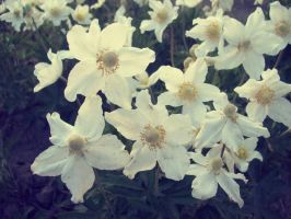 white flowers by Shoilla