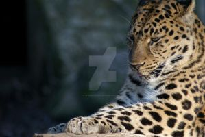 Amur Leopard Side by SparkieSuze