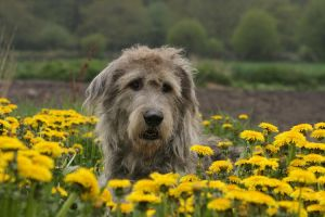Giant dandelion dog by SaNNaS