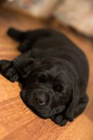 Labrador Puppy Sleeping by rainey06au