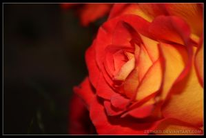 dark rose 2nd verse - macro by ZethXD