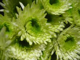 Mums the Word by Cao
