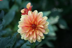 dahlias in Flora garden  23 by ingeline-art