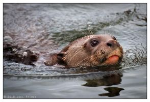 Giant Otter 91-1010 by Prince-Photography