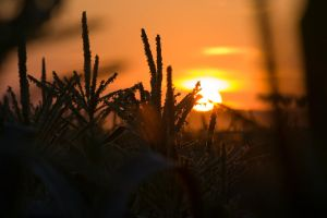 Corn Sunset 2 by cthacker