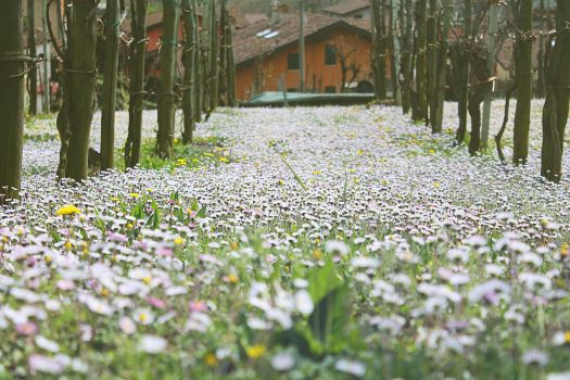 White sea of Spring by TheFairyOfFlowers