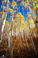 The Light on the Aspens by mjohanson