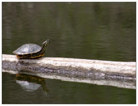 Western Painted Turtle by Sparten