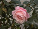 Pink rose by RiverKpocc