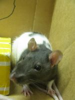 One of My Pet rats, Willow by Denniah