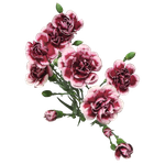 Cut Flowers Of Carnation png by Adagem