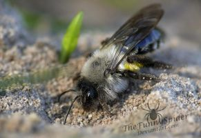 Mining Bee - Andrena by TheFunnySpider