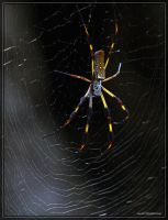 Golden Silk Spider 40D0044308 by Cristian-M