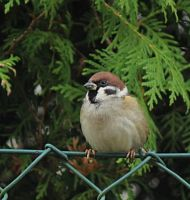 Sparrow on the fence by SvitakovaEva