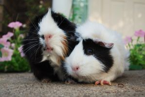 Guinea Pig Lovers 3 by Hawkeyes345
