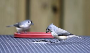 Titmice by BirdyLee