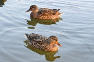 Young beauty female twins ducks by A1Z2E3R