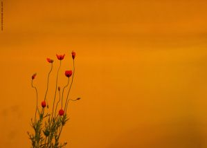 Red Poppies by sara-nmt