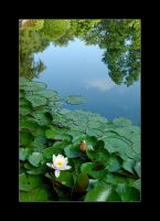 Water lily with sky by CerebralCortex