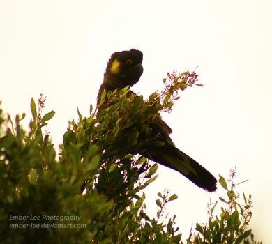 Yellow-tailed Black Cockatoo by Ember-Lee