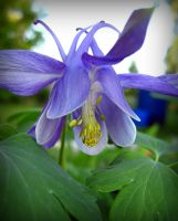 Aquilegia - blue Columbine by miss-gardener