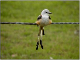 Scissor-Tail Flycatcher May 3 by SuicideBySafetyPin