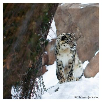 Snow Leopard I by tjackson80