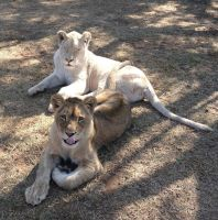 Two young lionesses - stock by kridah-stock
