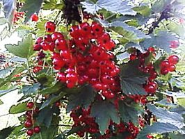 red currants 2 by Smolipaluch