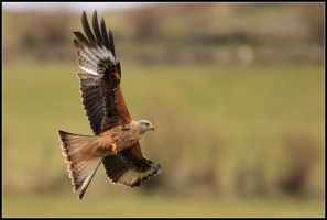 Gigrin Farm - Red Kite II by nitsch