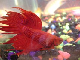 red siamese fighting fish 2 by EmzazasStock