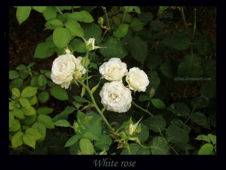 white rose by selini