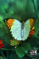 iButterfly by eyefish