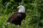 Bald Eagle by Canonnewbe