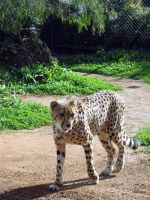 Cheetah 2 by JadedSphnix-Stock