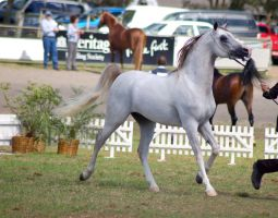 TW Arab white/grey trotting side front 3/4 by Chunga-Stock