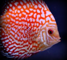 Marbled Discus Fish by smolensk65