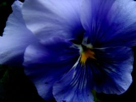 Pansy by Jules-one