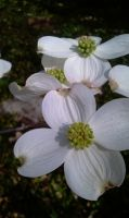 Flowering Dogwood by fearnone