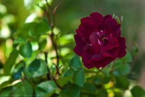 shadow rose by bimjo