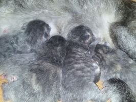 Kitten Litter - 2 Days Old by GleamyDreams