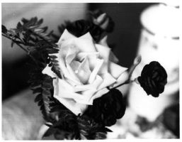Black and White Roses by fetishfaerie-stock
