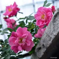 Roses a la Fenetre I by hyneige