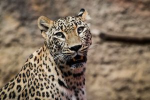 Leopard_001 by annieHPS