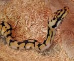 Bumble-Bee Ball Python by Thylacinus1