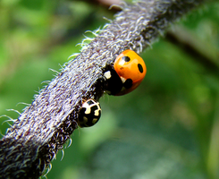 ladybird and a bug by shapemaster