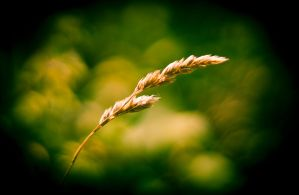 Wheat by ZEVLEVIROGAN
