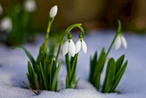 Snowdrops by ervin21